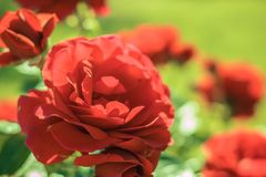 Red roses in the garden. Summer flowers in the park. Beautiful floral background royalty free stock photography