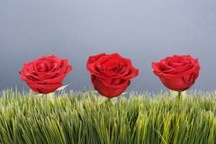Red roses in grass. Stock Photography