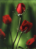 Red roses with green background. Royalty Free Stock Photo