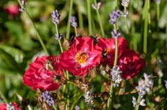 Red roses green bush in garden with lavender angustifolia and bee. Red roses green bush in garden with lavender angustifolia in Slovenia stock photo