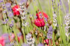 Red roses green bush in garden with lavender angustifolia. In Slovenia royalty free stock photos