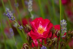Red roses green bush in garden with lavender angustifolia. In Slovenia stock photos