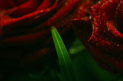 Red roses and green leaf stock photography