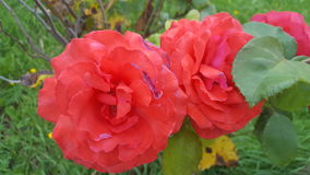 Red Roses and Green Leaves Royalty Free Stock Photo