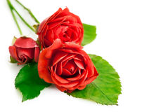Red roses with green leaves Royalty Free Stock Photo