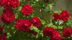 Red roses grow on bush outdoors. Crimson murrey climbing roses closeup stock footage