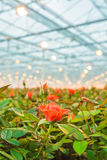 Red roses growing inside a greenhouse Stock Images