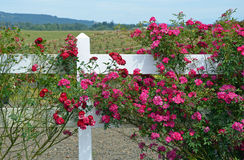 Red roses growing on white fence Stock Image
