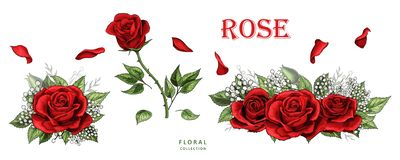Red roses hand drawn color set. Rose flowers isolated on white background royalty free illustration