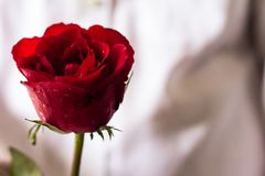Red roses in hand. Sent roses represent love on Valentine`s Day stock photos