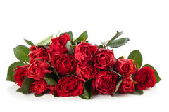 Red roses. Royalty Free Stock Photos