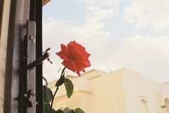 Red roses and holiday sunshine royalty free stock photo