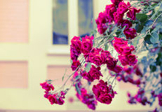Red roses on house background Stock Images