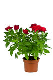 Red Roses In A Pot Stock Photography