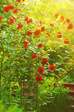 Red Roses In Garden Royalty Free Stock Photos