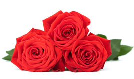 Red roses isolated Royalty Free Stock Photography