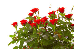 Red roses isolated. Royalty Free Stock Photos