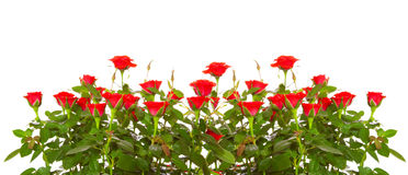 Red roses isolated. Royalty Free Stock Images