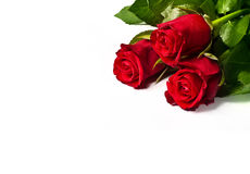 Red roses isolated on white background. Three red roses isolated on white Royalty Free Stock Photo