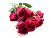 Red roses isolated. On white background Stock Image