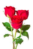Red roses. Isolated on white background Royalty Free Stock Image