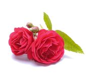 Red roses. Isolated on white background Stock Images