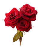Red roses isolated on the white background Stock Photography