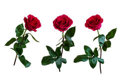 Red roses. Isolated, white background Royalty Free Stock Photos