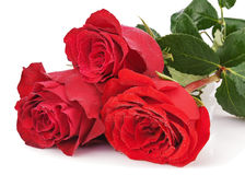Red roses isolated on white background. Royalty Free Stock Photo