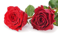 Red roses isolated on white background. Royalty Free Stock Photos