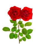 Red roses isolated white background. Flower head Stock Photography