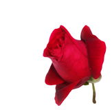 Red roses isolated on white Royalty Free Stock Photo