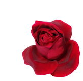 Red roses isolated on white Stock Image