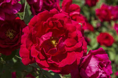 Red roses for lovers,Roses, roses for the day of love, the most wonderful natural roses suitable for web design, love symbol roses Stock Photo