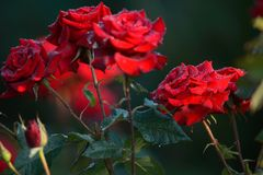 Red roses with morning dew with a blurred background of green le. The red roses with morning dew with a blurred background of green leaves. Soft Focus stock photos