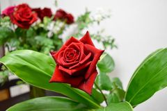 Beautifull  roses flowers bouquet with leaves at home. Red roses nature leaves romantic gift Stock Image