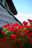 Red roses near a house on sunny sky background Stock Photography