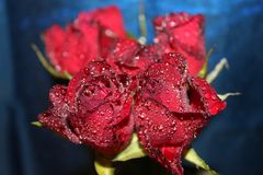 Red roses 003. Nice red roses with waterdrops on it and blue background stock photography