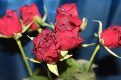 Red roses. Nice red roses with waterdrops on it and blue background royalty free stock images