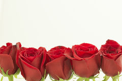Red roses on one row from the top Royalty Free Stock Images