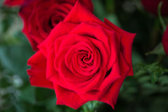 Red roses over valentines day Royalty Free Stock Images