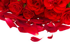 Red roses with petals Stock Images