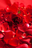 Red roses petals Valentine's Day Stock Photos