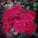 Red roses. Plant with green leaves Stock Image