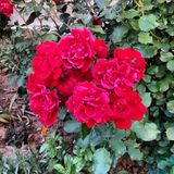 Red roses. Plant with green leaves royalty free stock photos