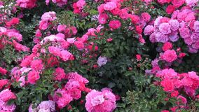 Red roses plant in spring garden. stock footage