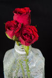 Red roses in plastic bottle. Isolated on black Royalty Free Stock Photo