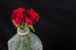 Red roses in plastic bottle. Isolated on black Royalty Free Stock Images