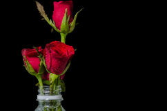 Red roses in plastic bottle. Isolated on black with text space Stock Photos