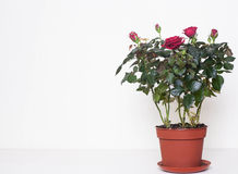 Red roses in the pot Royalty Free Stock Photo